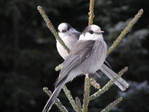 CRED talk: Songbirds of Mount Revelstoke and Glacier National Parks @ community centre, McPherson Rm |  |  |